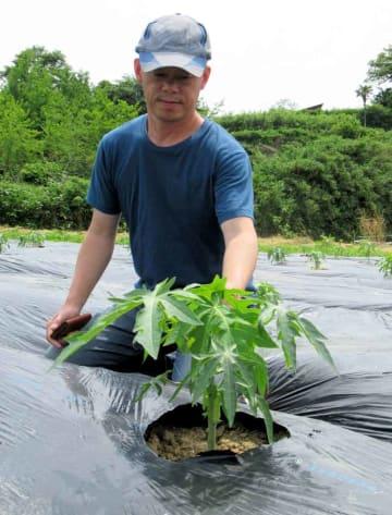 パパイアの苗と吉岡さん。苗は7月ごろには約2メートルに成長する(京都府京丹後市網野町網野)