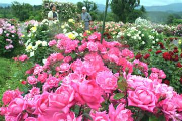 今月名称を変えてオープンした「紫波ローズガーデン」。色とりどりのバラが見頃を迎えている