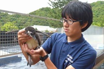 飼育員の南さんに抱えられるペンギンのひな(宮津市小田宿野・丹後魚っ知館)