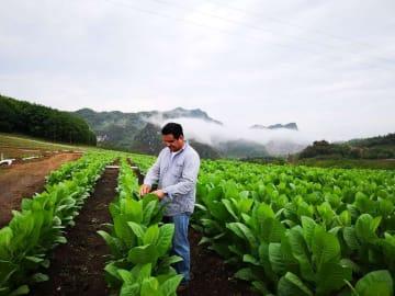 葉タバコの栽培で農家の貧困脱却を後押し 海南省東方市