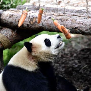 青海省の動物園に初のパンダ館がオープン