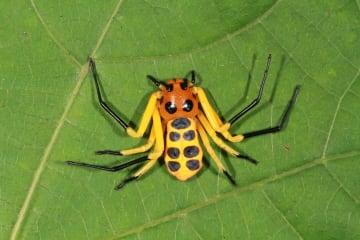 中国の科学者、クモの新種を発見