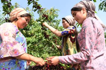 収穫期を迎えたギサールのサクランボ タジキスタン