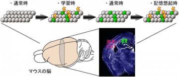 記憶痕跡細胞の活動と記憶の関係(富山大学表資料より)