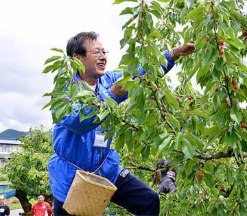 首都圏の観光客がサクランボの収穫を楽しみながら、果樹園の人手不足にも一役買っている=天童市