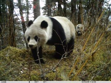 パンダの親子が共に行動する様子を初撮影 四川省黄竜自然保護区