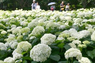 白い大輪のアジサイ「アナベル」=相模原北公園