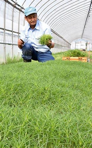 オカヒジキの収穫に追われる生産者=南陽市和田