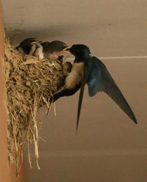 巣のひなに餌を与えるツバメの親鳥(右)=守谷市野木崎