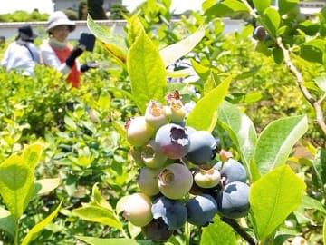 食べ頃のブルーベリーを摘み取る来園者=熊谷市板井