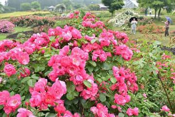 見ごろを迎え、鮮やかに咲き誇る東八甲田ローズカントリーのバラ