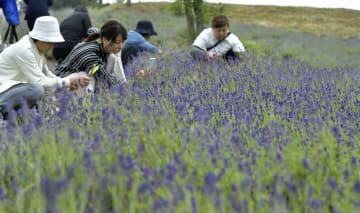 写真撮影や刈り取りを楽しむ観光客でにぎわったラベンダー畑=22日午前、青森市の道の駅なみおか