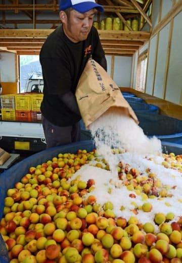 大きな容器に熟した梅に続いて塩を入れる農家(和歌山県田辺市稲成町で)