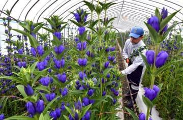 色鮮やかな花を付けるリンドウ=24日午前7時40分、日光市倉ケ崎