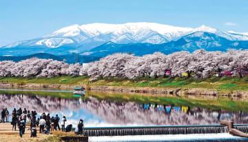 「桜まつり」の見どころとなる一目千本桜。地元の観光シンボルにもなっている=4月、宮城県大河原町