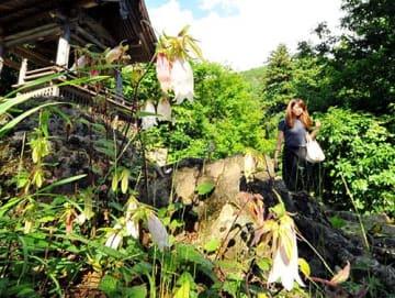 下向きに開花し釣鐘草とも呼ばれるホタルブクロが若松寺で咲いている=天童市