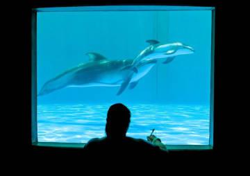 人工授精で誕生したカマイルカの赤ちゃんは順調に成長しているという(鴨川シーワールド提供)