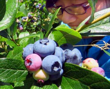 紫紺に色づいたブルーベリーの果実(滋賀県高島市マキノ町寺久保・マキノピックランド)