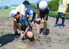 専用の道具を使い、ビートの苗を植える児童
