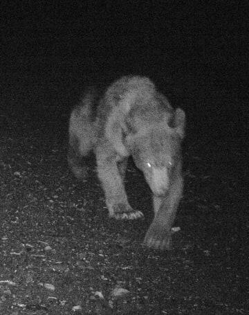 北海道・利尻島の林道に設置した無人カメラが撮影したヒグマの姿=2018年6月(北海道宗谷総合振興局提供)
