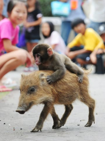 イノシシの赤ちゃんの背に乗って走り回る子ザルの「みわ」=2010年9月、京都府福知山市動物園