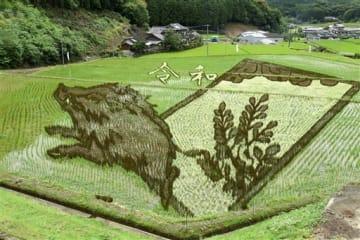イノシシの絵柄がくっきりと見え始めた田んぼアート=上天草市