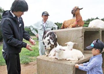 人なつこいヤギたち=福井県坂井市三国町平山の「なかよしとんがり牧場」