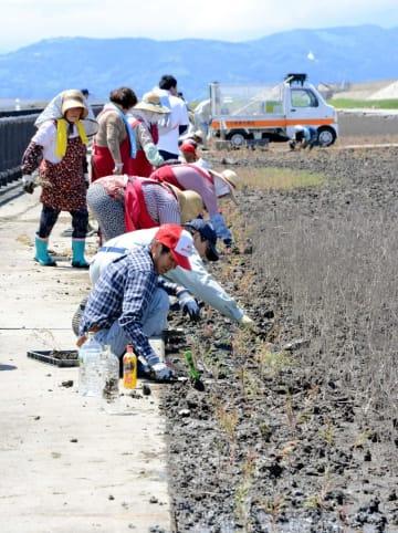 シチメンソウの苗を植える市民ら=佐賀市東与賀町の東与賀海岸のシチメンソウヤード