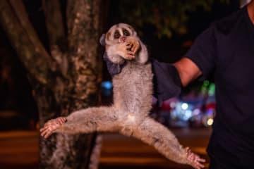 国家一級保護動物のベンガルスローロリス、夜の町に出現 雲南省隴川県