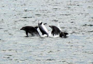 山口県周防大島町の海岸近くで勢いよくジャンプするイルカ