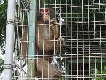福知山市動物園から脱走したニホンザルのみわ(福知山市猪崎)=2018年6月