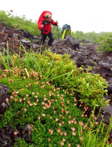 急な岩場を登る登山客を出迎える綿毛のチングルマ
