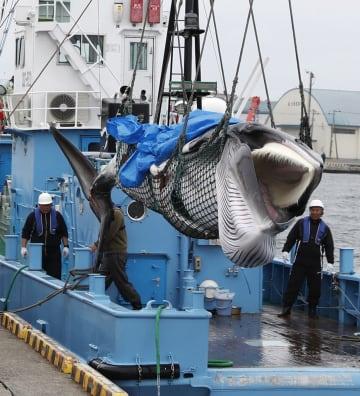 31年ぶりに商業捕鯨が再開され、釧路港に水揚げされたクジラ=1日午後、北海道釧路市