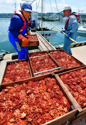 漁が本格化し、次々と水揚げされるホヤ=2日午後12時半ごろ、洋野町の種市漁港