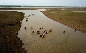 シフゾウの個体数、5千頭を超える 江蘇省大豊自然保護区