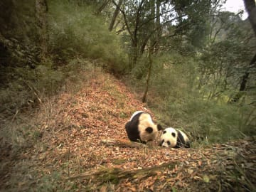 赤外線カメラが捉えた野生パンダの愛らしい姿 甘粛省