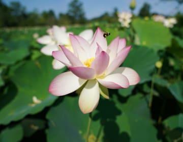 ハスが次々と開花 ワシントンの水辺に涼