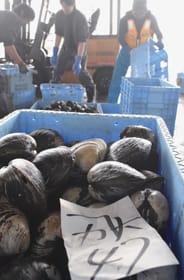 漁船から港に続々と運び込まれる大粒のホッキ貝=4日午前11時15分ごろ