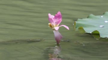 蓮池で「魚が蓮の花を食べる」不思議な光景 四川省成都市