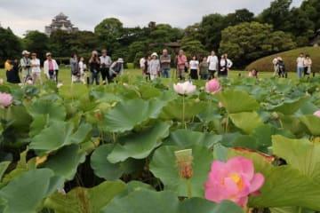 来園者が見守る中、花を咲かせた大賀ハス=7日午前5時39分