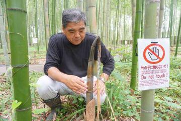 中央の竹は、タケノコの時に皮が剝がされ、枯れてしまった。両側は無事に青竹として成長した(京都市右京区・竹林の散策路)