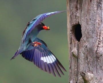 餌を運ぶブッポウソウの親鳥。木の幹で作った巣箱ではひなが待つ=岡山県吉備中央町下土井