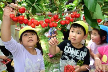 真っ赤に色づいたサクランボを摘み取る野田村の園児