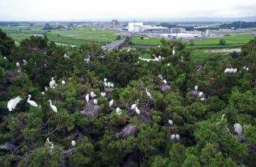 雑木林の上で営巣するサギの大群=9日午前11時20分、大田原市内、小型無人機から