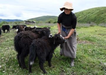 ヤク産業の高度化で牧畜民の収入増を後押し 四川省