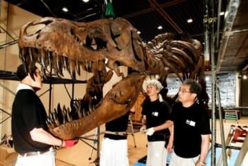 全長12メートル、ティラノサウルス・レックスの全身骨格標本を組み立てる関係者ら=鹿児島市の黎明館