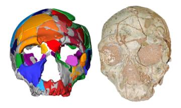 ギリシャで見つかったネアンデルタール人の化石(右)と復元図(研究チーム提供)