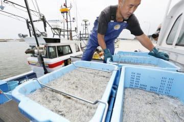 宮城県名取市の閖上港で今季初めて水揚げされたシラス=11日