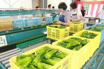 出荷が始まった津山市久米地域特産のジャンボピーマン