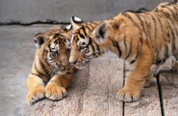今年生まれたアムールトラの赤ちゃん、30頭余りに 横道河子東北虎林園